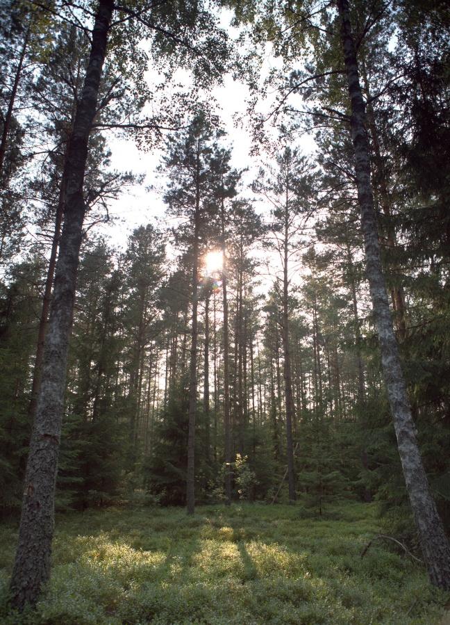 Słońce w warmińskim lesie
